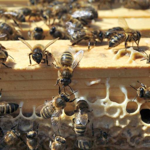 Les Apiers abeilles noires
